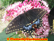Black Swallowtail Female